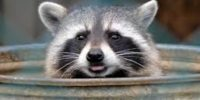 Raccoon Baiting August 3-17th, watch pets thru 24th.